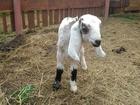 Скачать фото Другие животные Нубийских козлят 35877593 в Москве