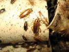 Фотография в Услуги компаний и частных лиц Разные услуги Борьба с тараканами. Уничтожение, травля в Москве 1500