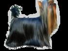 Уникальное foto Вязка собак МИНИ кобели для вязки,Питомник 37716506 в Москве