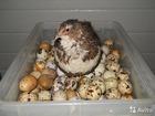 Фотография в Прочее,  разное Разное Яйца и мясо с личного подсобного хозяйства. в Москве 43