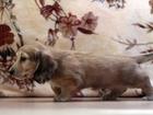 Просмотреть foto Разное Клубные щенки миниатюрной длинношерстной таксы кремового окраса 38487063 в Москве
