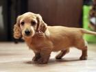 Свежее foto Разное Клубные щенки миниатюрной таксы кремового окраса 38683466 в Москве