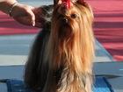 Смотреть фото Вязка собак Йоркширский терьер для вязок, Мини стандарт, 39337377 в Москве