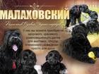 Фотки и картинки Русский чёрный терьер смотреть в Moscow