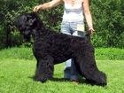 Питомник продает щенков Русского черного терьера