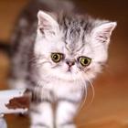 Экзотический котенок шиншиллового окраса
