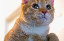 Красивый полугодовалый котик по кличке Чубсик