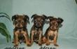 Питомник РКФ предлагает к продаже щенков