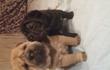 Продажа щенков редкого окраса:-Олень и Мини-Пей