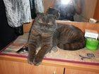 Скачать бесплатно изображение  ищу британского вислоухого кота для вязки 32368892 в Омске