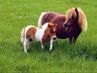 Уникальное foto  Купить Корову Зебу карликовую, Шотландский скот, Пони можно у нас 32395763 в Москве
