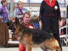 Просмотреть foto  Кобель немецкой овчарки для вязки 32492326 в Москве