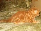 Скачать изображение  Купить котенка в Москве: продажа британцев, шотландцев красный мрамор шоу-класс из п-ка кошек Его Величество Мрамор в Москве 32542418 в Москве