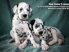 Фото в Собаки и щенки Продажа собак, щенков Продаются щенки далматина с документами  в Москве 0