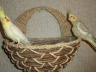 Фотография в Домашние животные Птички Продаю состоявшуюся пару корелл. Были птенцы. в Щелково 3000