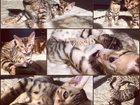 Изображение в Кошки и котята Продажа кошек и котят СУПЕР ЗВЕРЯТА домашние леопардики. Породистые в Москве 13500