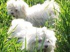 Изображение в Собаки и щенки Продажа собак, щенков Щенки мальтезе микро, мини и стандарт. Маленькие в Москве 0