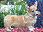 Фотография в Собаки и щенки Продажа собак, щенков Предлагается мальчик породы вельш корги пемброк. в Москве 55000