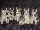 Фотография в Собаки и щенки Продажа собак, щенков Предлагаются щенки сиб/хаски (чистопородные) в Москве 12000