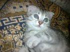 Фотография в Кошки и котята Продажа кошек и котят продам не дорого вислоушек, мама шотландка в Одинцово 3000