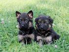 Фотография в Собаки и щенки Продажа собак, щенков Резервирование щенков немецкой овчарки чепрачного в Москве 20000