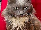 Фотография в Кошки и котята Продажа кошек и котят Он очень нуждается в хозяине! Нибелунг - в Москве 0