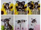 Фотография в Собаки и щенки Продажа собак, щенков Предлагаем щенков Чихуахуа мальчиков и девочек в Москве 55000