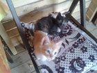 Увидеть фото Приму в дар Прошу забрать двух котят, 33648682 в Москве