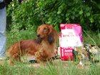 Изображение в Собаки и щенки Вязка собак Предлагаемдлявязок кобелей стандартной длинношерстной в Москве 0
