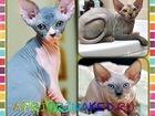 Изображение в Кошки и котята Продажа кошек и котят Питомник канадских сфинксов AprioriNaked в Москве 0