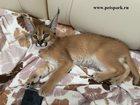 Изображение в   Продам котят Каракала. Возраст от 1. 5 месяцев в Москве 550000