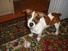 Уникальное фото Вязка собак Девочка Джек-Рассел терьер 33830674 в Дмитрове