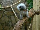 Фотография в Домашние животные Другие животные Продам Здиповых тамаринов. Это обезьянки в Москве 150000