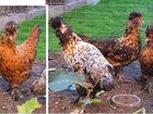Фото в Домашние животные Птички продам павловских кур возраст 6 месяцев. в Москве 0