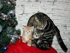 Фотография в Кошки и котята Вязка Окрас чёрный мрамор (n22), чемпион породы, в Москве 3000