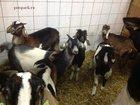 Фото в   Продажа Нубийских коз разного возраста.  в Москве 80000