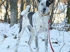 Свежее фото  Чара - собака с невероятным окрасом! 34165866 в Москве