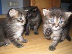 Изображение в   Котята от сибирского кота очень красивые, в Москве 700