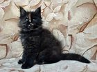 Изображение в Кошки и котята Продажа кошек и котят Питомник Lakshestar предлагает котенка мейн в Москве 30000