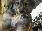Фото в   Двое маленьких, очаровательных щеночка ищут в Москве 0
