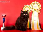 Фото в Кошки и котята Продажа кошек и котят Монопородный питомник британских длинношерстных в Москве 20000