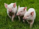 Скачать бесплатно изображение  Поросята мясные 36844935 в Азове