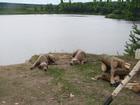 Фотография в Собаки и щенки Продажа собак, щенков Началась запись на щенков веймаранера. Родились в Москве 0
