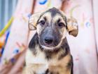 Скачать бесплатно фото  Очаровательный щенок Пузик ищет дом, 37280723 в Москве