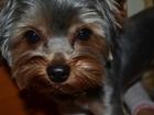 Foto в Собаки и щенки Вязка собак Кобель молодой (1, 5 года), развязанный, в Москве 0