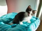 Фото в   Веселый котик Феликс, возраст 2 месяца, окрас в Москве 0