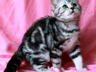 Фотография в Кошки и котята Продажа кошек и котят Лицензированный питомник британских кошек в Москве 0