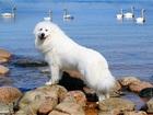 Увидеть изображение  Кобель Пиренейской Горной Собаки для вязок 37712114 в Астрахани