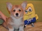 Изображение в Собаки и щенки Продажа собак, щенков Питомник Лайф Спринг, предлагает двух щенков в Москве 0