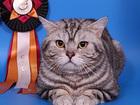 Фото в Кошки и котята Вязка Предлагаем для вязки- Британского, клубного в Москве 2500